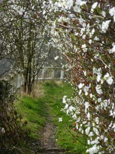 A hawthorne hedge