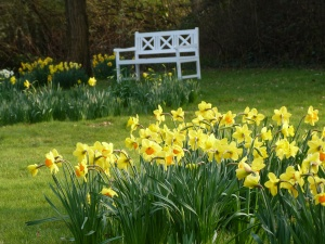 Daffodils and a white bench in Heidi's Garden