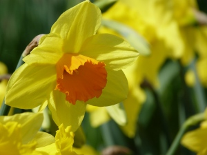A Yellow and Orange Daffodil