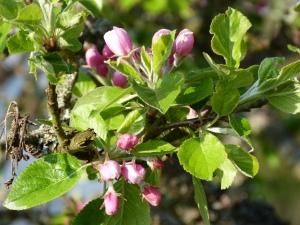 Buds on Apple Tree