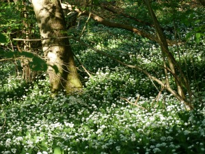 Wild Garlic in the Bluebell Wood