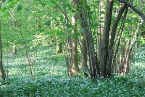 Wild Garlic at Bluebell Wood