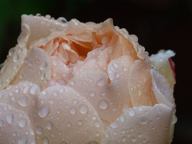 A rose after rain