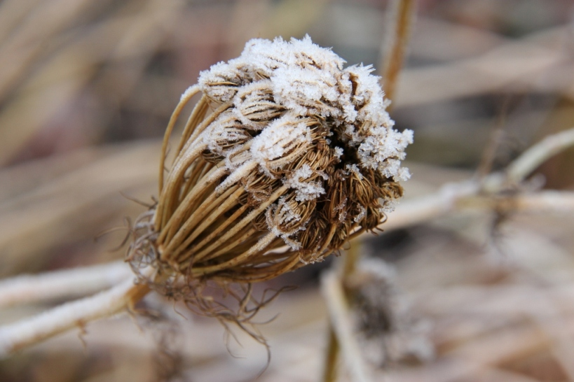 Ammi visnaga seedhead covered with frost (
