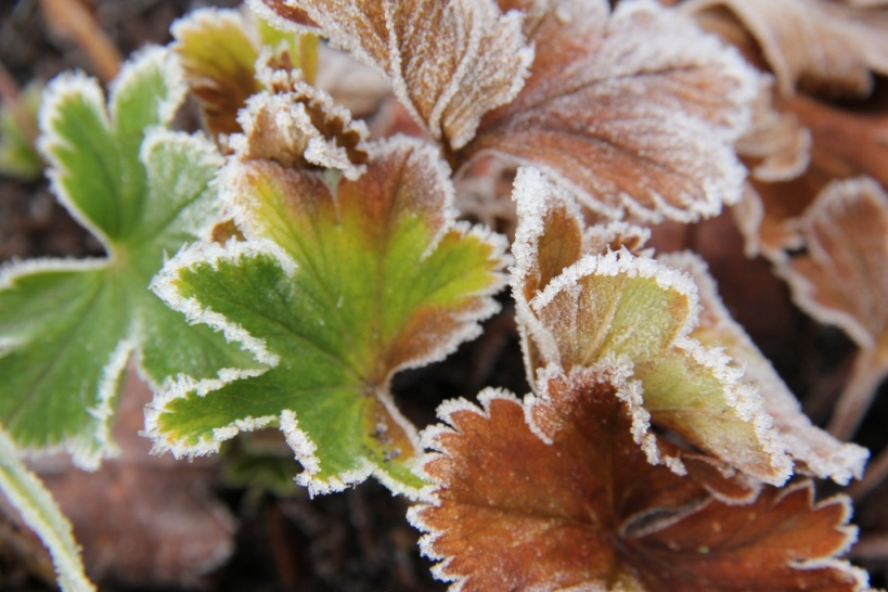 Frost - Alchemilla mollis (1024x683)
