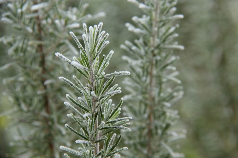 rosemary twigs covered with frost