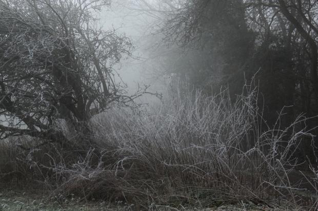 Frozen grasses in mist