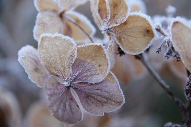 Frozen Hydrangea Flower