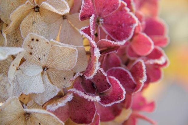 Frozen Hydrangea flowers