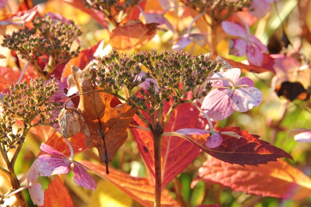 Hydrangeas in an autumn evening light