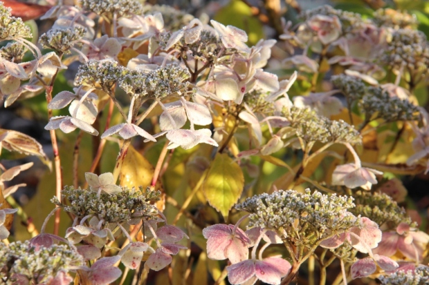 Hydrangeas in the morning sun II