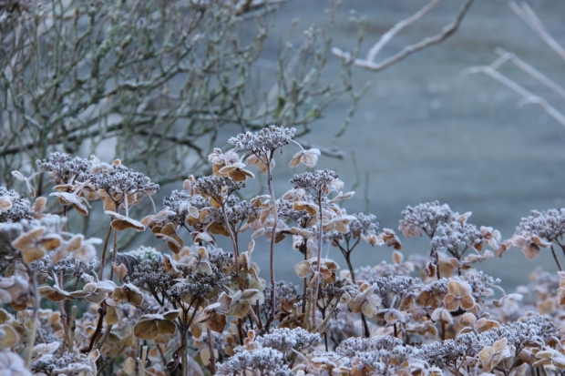 Hydrangeas on a frosty morning II