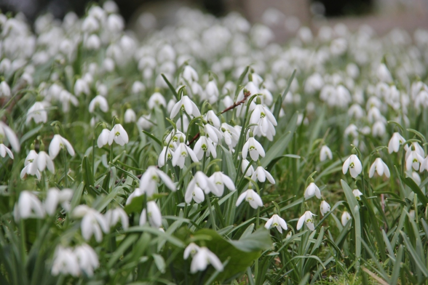 A Sea of Snowdrops