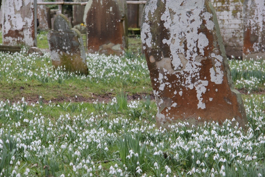 Snowdrops in a church yard