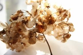 Dried Hydrangea Flowerhead III