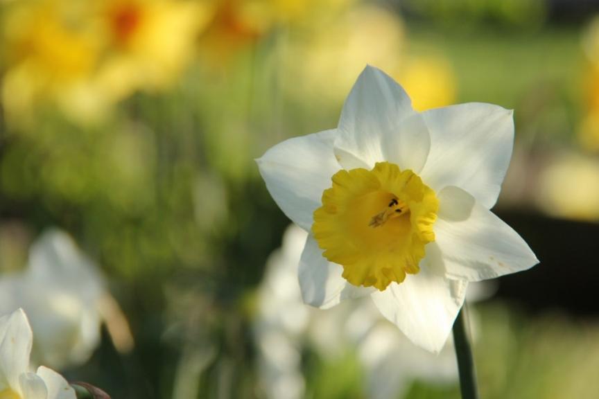 Back lit daffodil