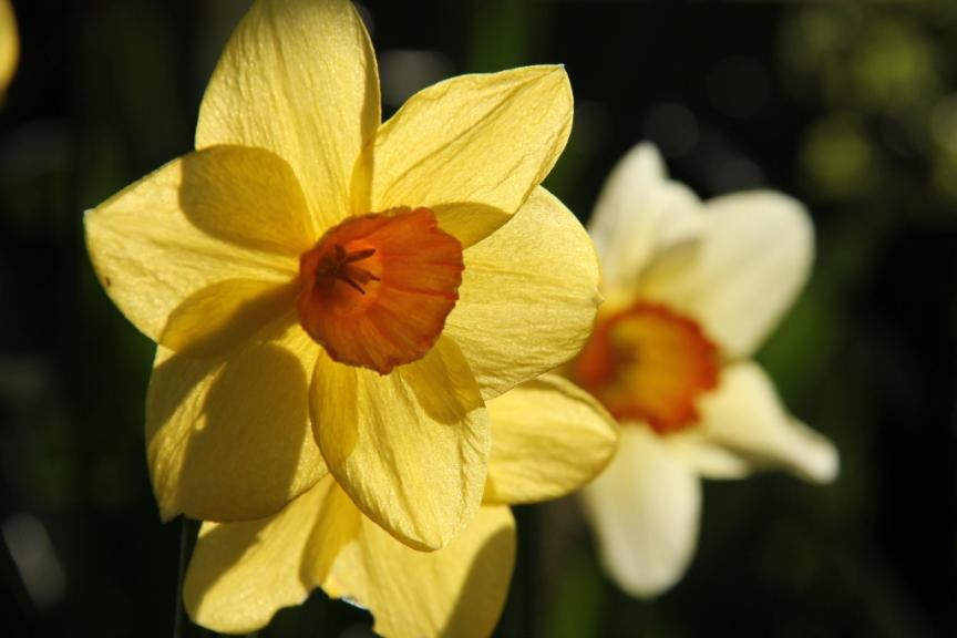 Backlight daffodils