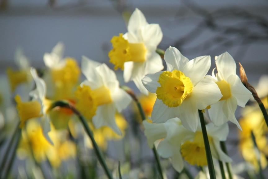 Daffodils in evening light II (1024x684)