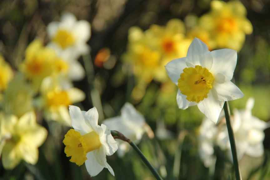 Daffodils in evening light III (1024x683)