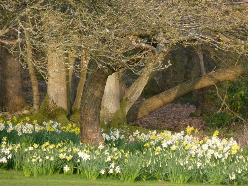 Naturalised daffodils in Kent