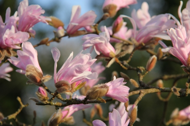 Magnolia in morning light II
