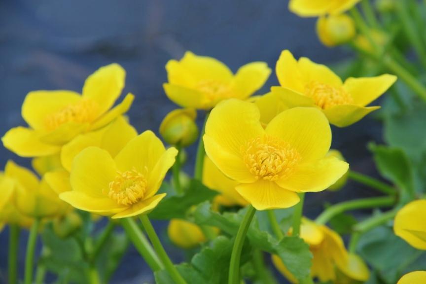 Marsh Marigold (1024x683)