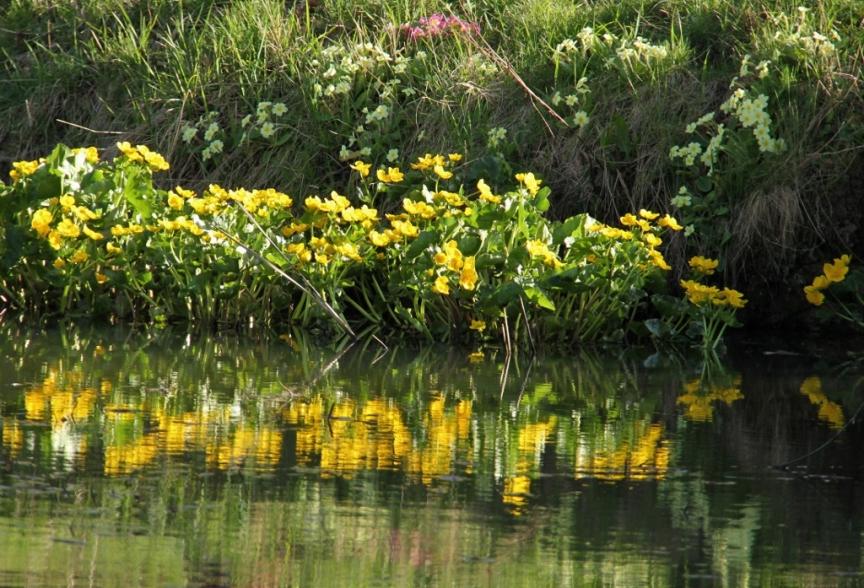 marsh marigolds and primroses (1024x697)