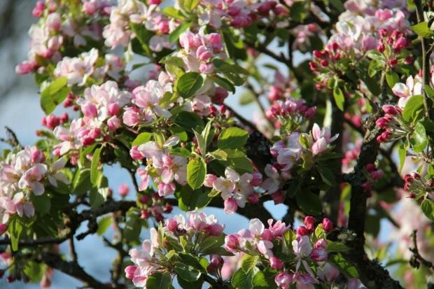 Apple tree in full blossom (1024x683)