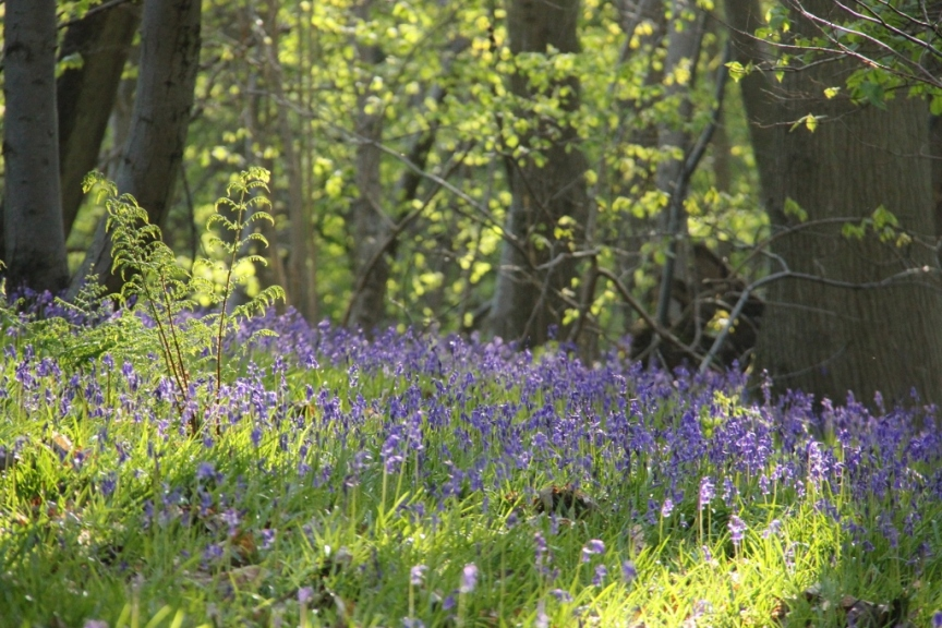 Bluebell Wood in evening sun (1024x683)