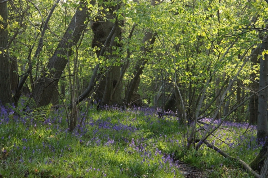 Bluebell Wood in evening sun II (1024x683)