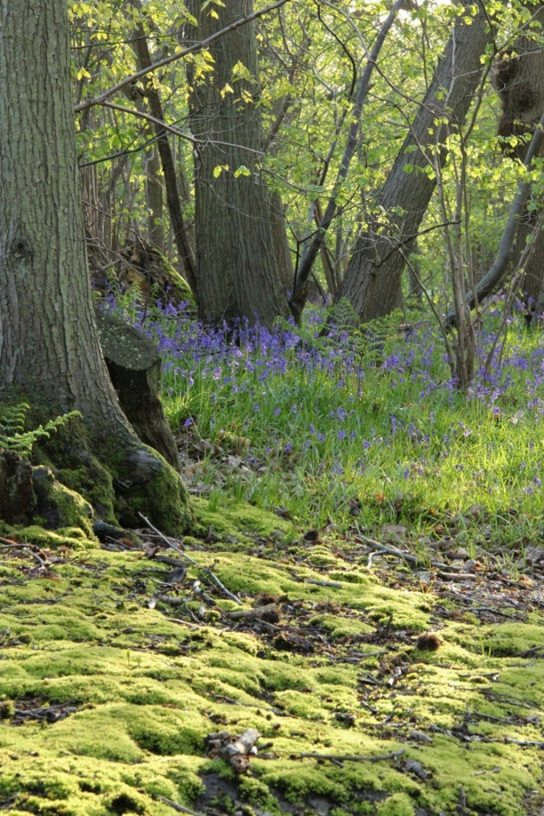 Woodland in spring, with bluebells and moss