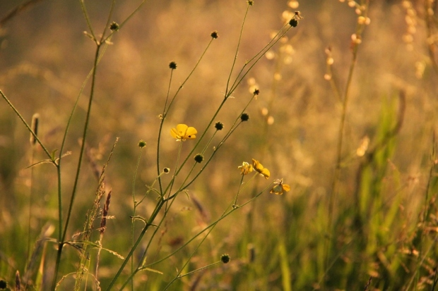 buttercup in evening sun