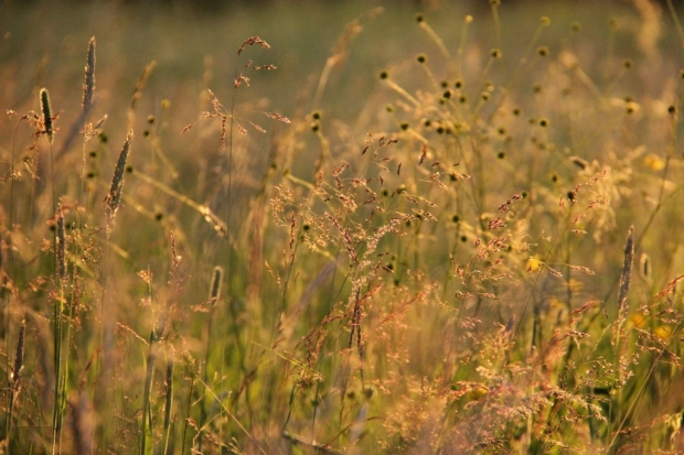 grasses in summer evening sun