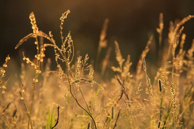 grasses in summer evening sun II (1024x683)