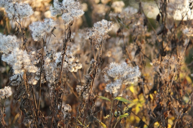 Dried Eupatorium stems in the late autumn